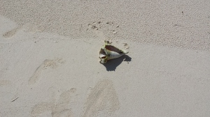 The lonely conch shell