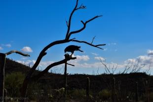 Perigrine falcon.
