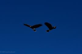 Harris Hawks.